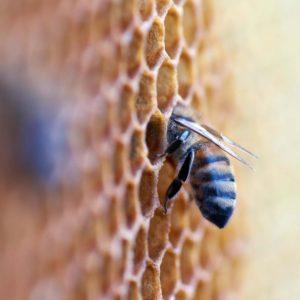 Honey Bees At Work