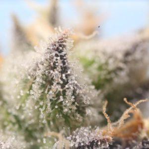 Trichome rich cannabis flower